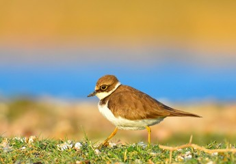 Little Ring Plover