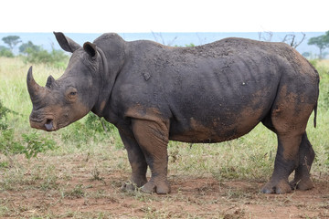 Close up shot of a White rhino, Kruger National Park, South Africa