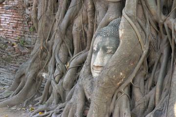 The head of sandstone budha head lying beneath a tree at Ayudhay