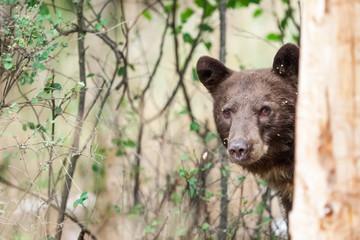 Black bear behind tree trunk, Missoula, Montana, United States of America