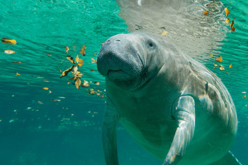 Manatee, Crystal River, Florida, United States of America