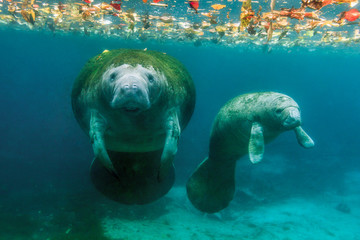 Mother and calf manatee, Crystal River, Florida, United States of America