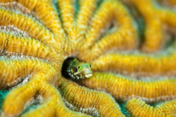 Blenny fish and coral
