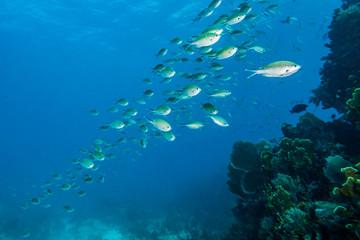 Baitfish schole, Molasses Reef, Key Largo, Florida, United States of America