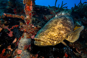 Atlantic Goliath Grouper fish, Spiegel Grove, Key Largo, Florida, United States of America