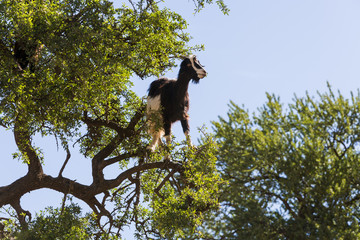 Goats climbing in Argania tree, Morocco