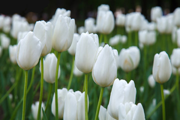 Many white tulips in garden close. Summer decorative flower. Natural plantation floral. Purity and...