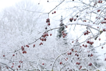 Tree branch with apples covered by snow in frozen garden on white sky background. Frozen branch