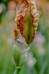 Autumn Reisling Iris Buds