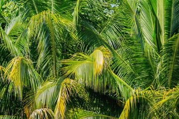 Abstract background of coconut palm tree