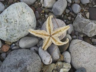 Sea starfish on the beach on the rocks, pebbles