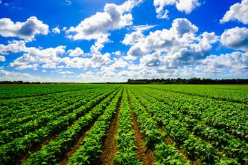 Agriculture vegetable field Fotoväggar
