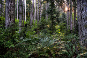 Douglas Fir Forest, Joyce Valley, Washington State