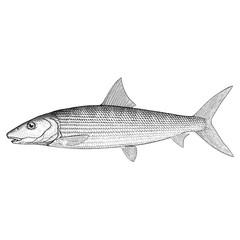 Hand Drawn Illustration of a Bonefish