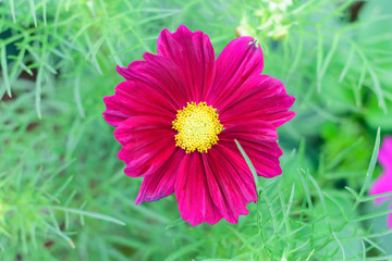 Cosmos flowers in an autumn garden