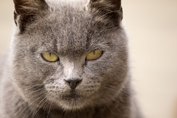Portrait of female gray cat