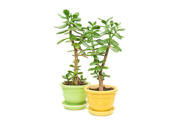 Crassula flower succulent  plant in pot isolated on white background