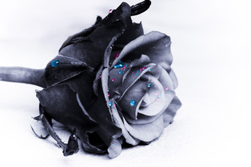 Wall Mural - artistic photo of black rose with contrasting clorful blue and pink drops of water