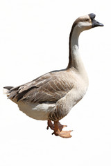 chinese goose isolated