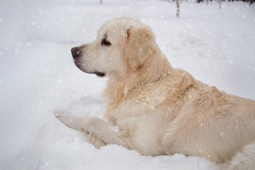 Cute brown dog lying in the snow and looking away