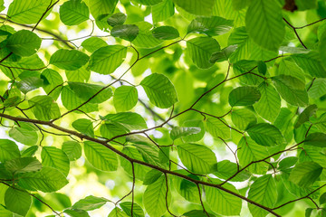 Green fresh leaves on a forest tree