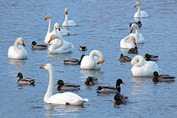 White Swans and dacks on a winter lake