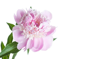 Floral wallpaper. Beautiful soft pink peony flower.