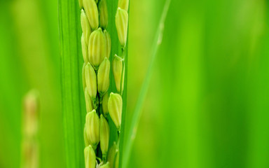 Close up photo of green rice grain in rice plants, vertically aligned