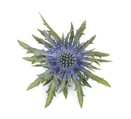 Sea holly thistles