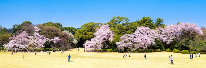 Wall Mural - Japanische Kirschblüte im Frühling als Panorama