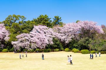 Wall Mural - Japanische Kirschblüte im Frühling