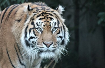 tiger Sumatran rare and endagered close-up background with copy space stock, photo, photograph, image, picture, press,