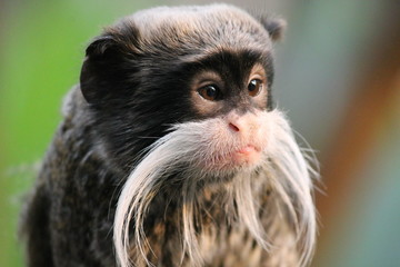 Emperor Tamarin monkey on branch white mustache stock photo photograph image picture