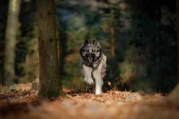 Tervueren rennend im Herbstwald