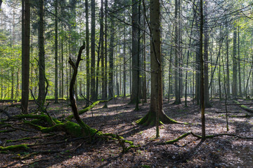 Fototapete - Sunbeam entering rich deciduous forest