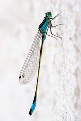 Libelle auf Steinwand
