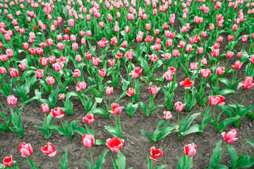 Rural garden with tulips. farm for the production of flowers.