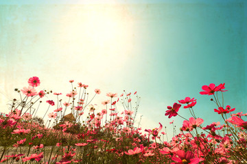 Landscape vintage nature background of cosmos flower field with sunlight blue sky. vintage color tone