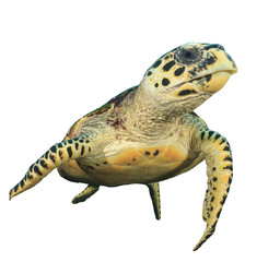 Sea Turtle isolated. Hawksbill Turtle white background
