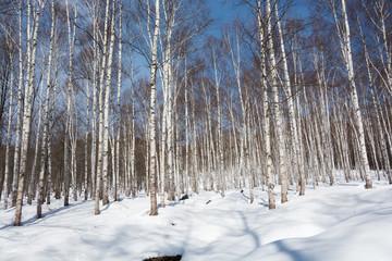 冬のシラカバ林