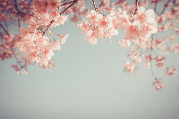 Wall Mural - beautiful vintage sakura flower (cherry blossom) in spring. vintage color tone