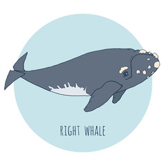Right whale vector illustration. Hand drawn, isolated on white and blue background. Sea animals for creative design.