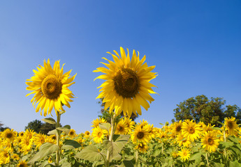 Sunflowers field with blue sky background