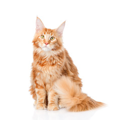 maine coon cat sitting in front view. isolated on white backgrou
