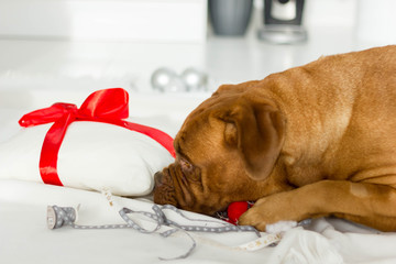 Dogue de bordeaux female and her pillow with red bow