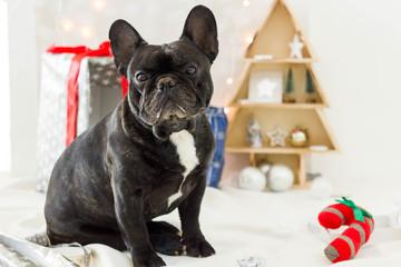 French bulldog sitting on white blanket around christmas decoration
