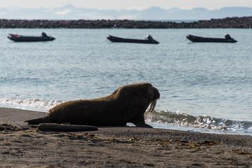 Walrus in Svalbard, Spitsbergen