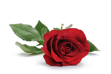 fresh red rose isolated over white background, closeup photo