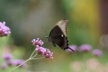 Papillon lépidoptère morpho bleu dans la serre au paradis des papillons de Sanguinet dans les Landes