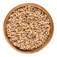 Spelt without husks in wooden bowl. Triticum spelta, also dinkel or hulled wheat, a staple and rediscovered relict crop in Europe. Isolated macro food photo close up from above on white background.